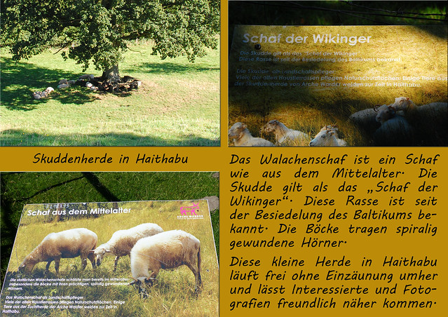 Skudden - die kleinen Schafe der Wikinger / Haithabu, September 2016 ... Fotos und Collagen: Brigitte Stolle
