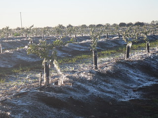 Your Farm News in Photos - Frozen Citrus | by Farm Fresh To You -