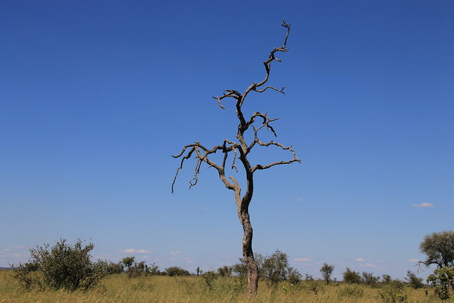 Iconic African Leadwood Tree