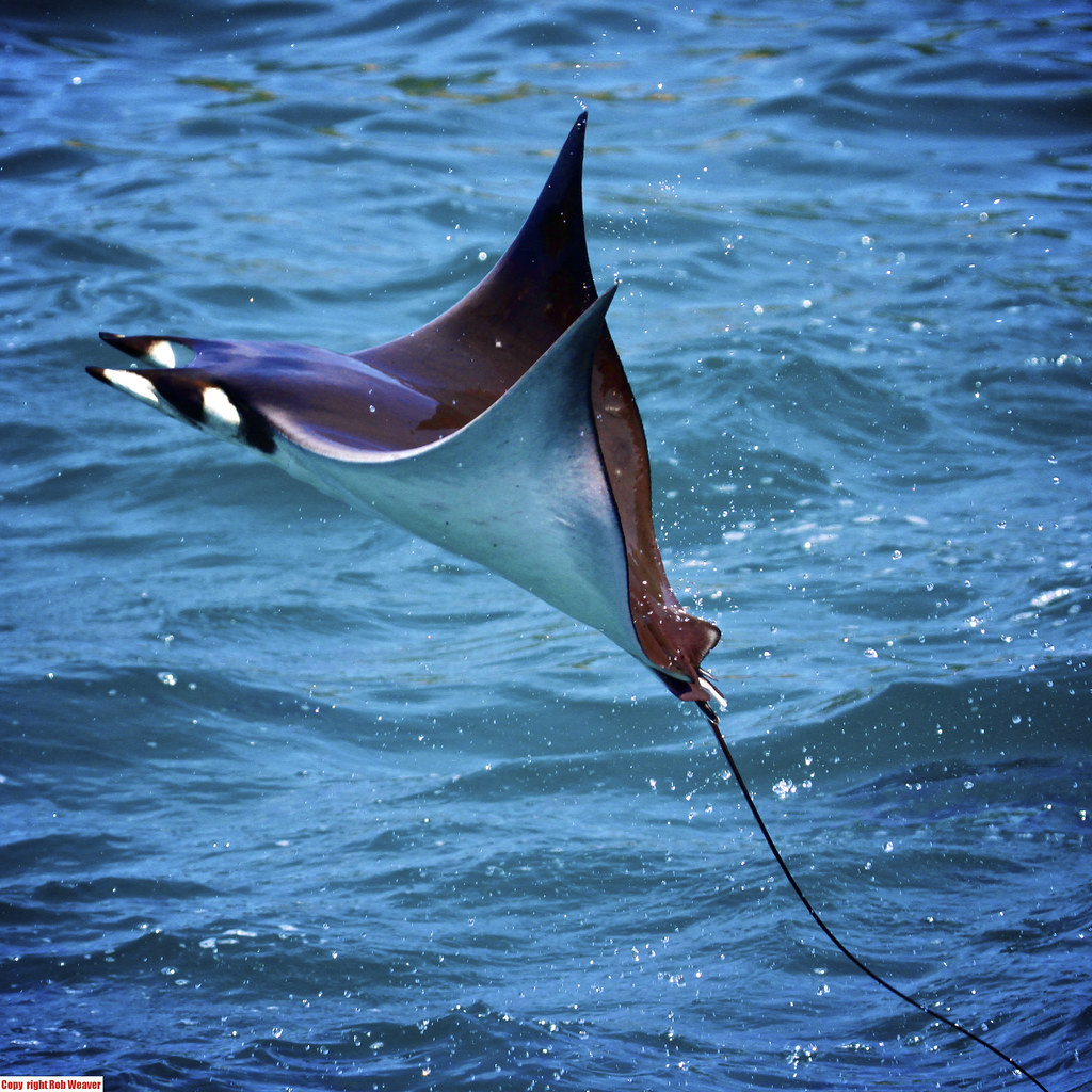 Flying jumping manta ray fish ocean sea nature wildlife ra for Sea ray fish