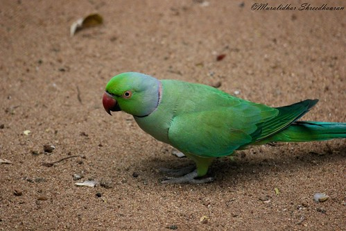 Rose-ringed parakeet | by mshreedhaaran