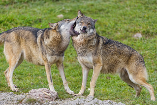 Wolves gently biting each other | by Tambako the Jaguar