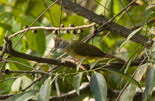 Puff-throated Bulbul | by christopheradler