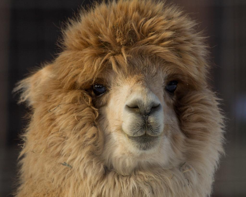 Alpaca | This guy was ...
