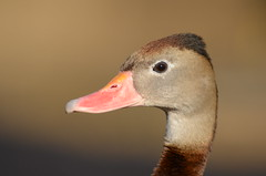 Black-bellied Whistling Duck (Dendrocygna autumnalis), at Slimbridge