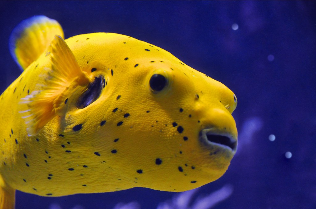 Arothron citrinellus golden puffer fish please please for What is a puffer fish