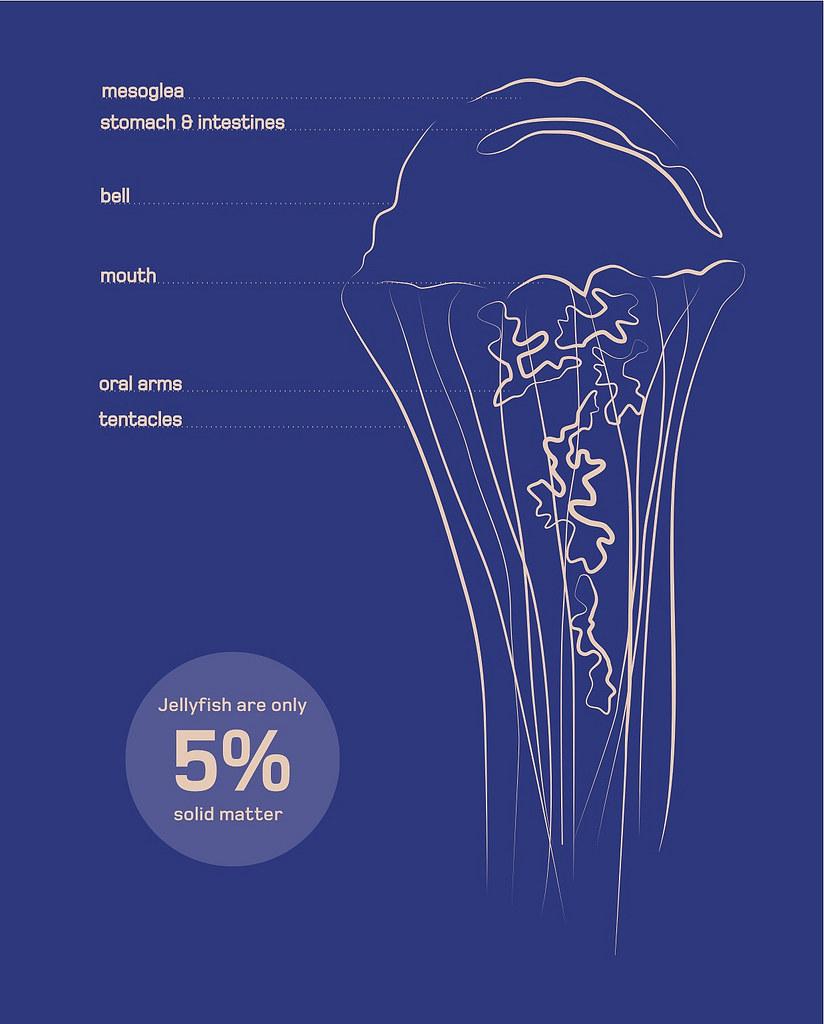 Bryony Jellyfish anatomy | Chris Michel | Flickr