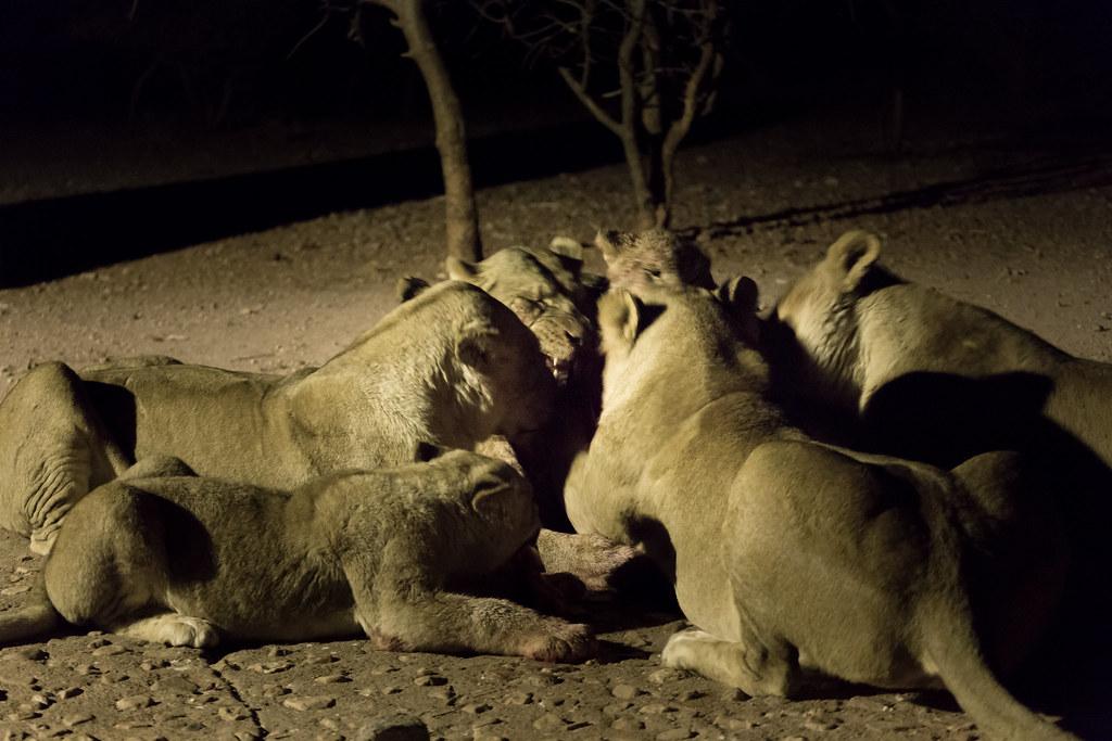 Löwenmahlzeit