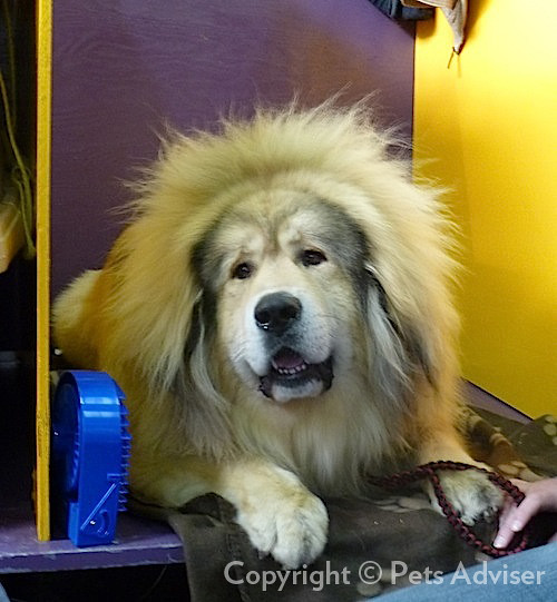 2013 Westminster Kennel Club Dog Show: Tibetan Mastiff ...