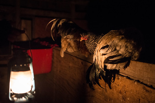 Cold Antler Farm Chickens | by goingslowly