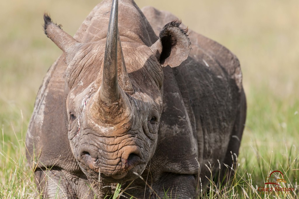 rhino rhinoceros main article It was the worst year for rhinoceros poaching since the government began tracking the illegal de-horning of all south african rhinos rhino farms.