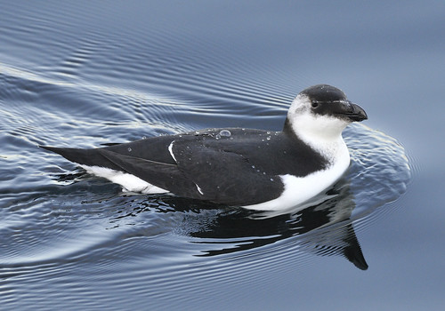 Razorbill | by U. S. Fish and Wildlife Service - Northeast Region