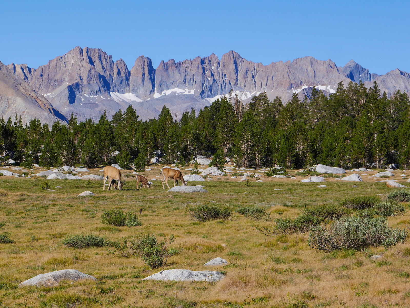 Deer on the Bighorn Plateau