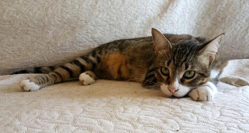 Cotton y Cobby, gatos pardo y blanquipardo inseparables, nacidos en Febrero´15, necesitan adopción Conjunta. Valencia. 29534910676_e84ef5d15d