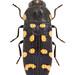 Acmaeodera degener (Scopoli, 1763)