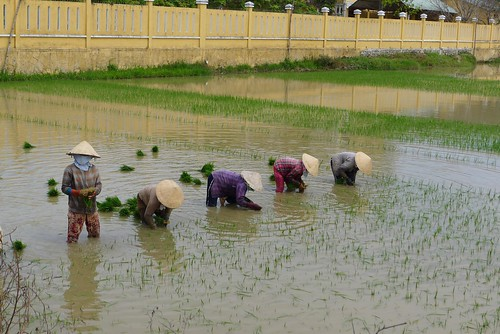 Wet method of rice growing, Hoi An, Vietnam | Hoi An ...