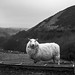 Sheep in Brecon Wales
