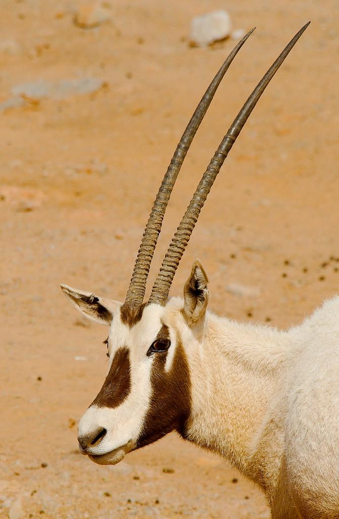 Arabian oryx (Oryx leucoryx)_1