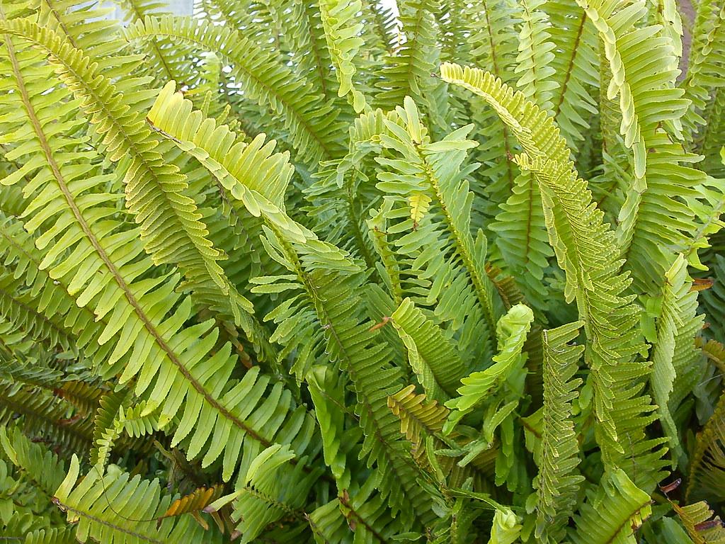 Sword fern nephrolepis exaltata themozhi 39 s pixel - Nephrolepis exaltata ...