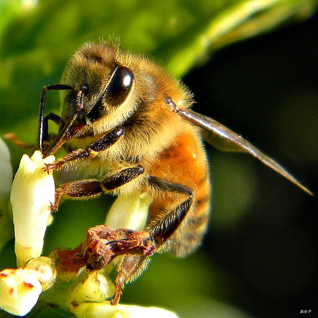 fuzzy wuzzy nectar vector western honey bee  apis bee vector image free bee vector pictures