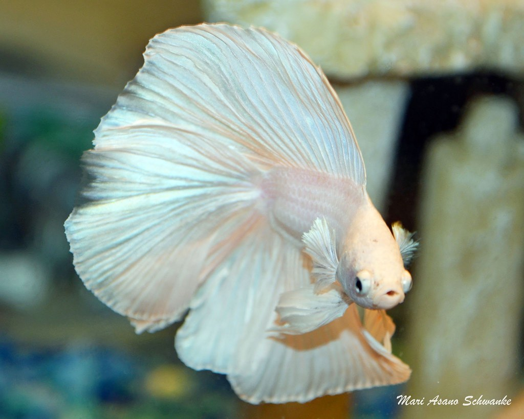 White halfmoon double tail betta nightwished flickr for What is a beta fish