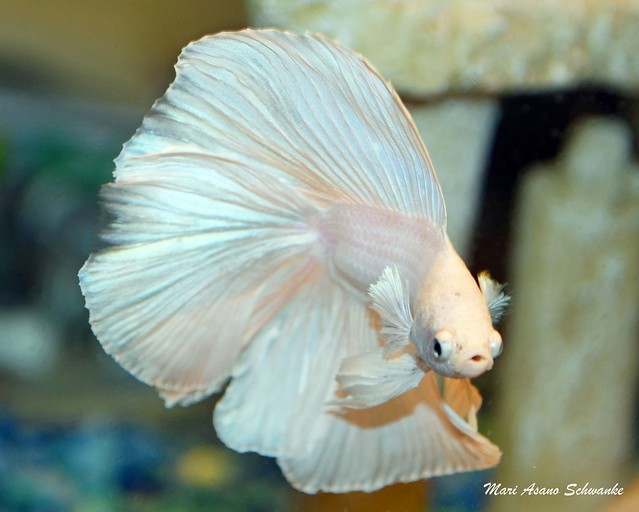 White halfmoon double tail betta | Flickr - Photo Sharing!