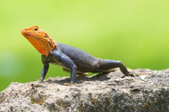 Red-headed Agama (Agama agama), male