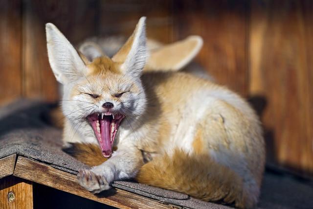Yawning fennec | Flickr - Photo Sharing!