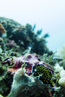 Yellow-spotted nudibranch & Underwater Landscape | by Photocritic.org