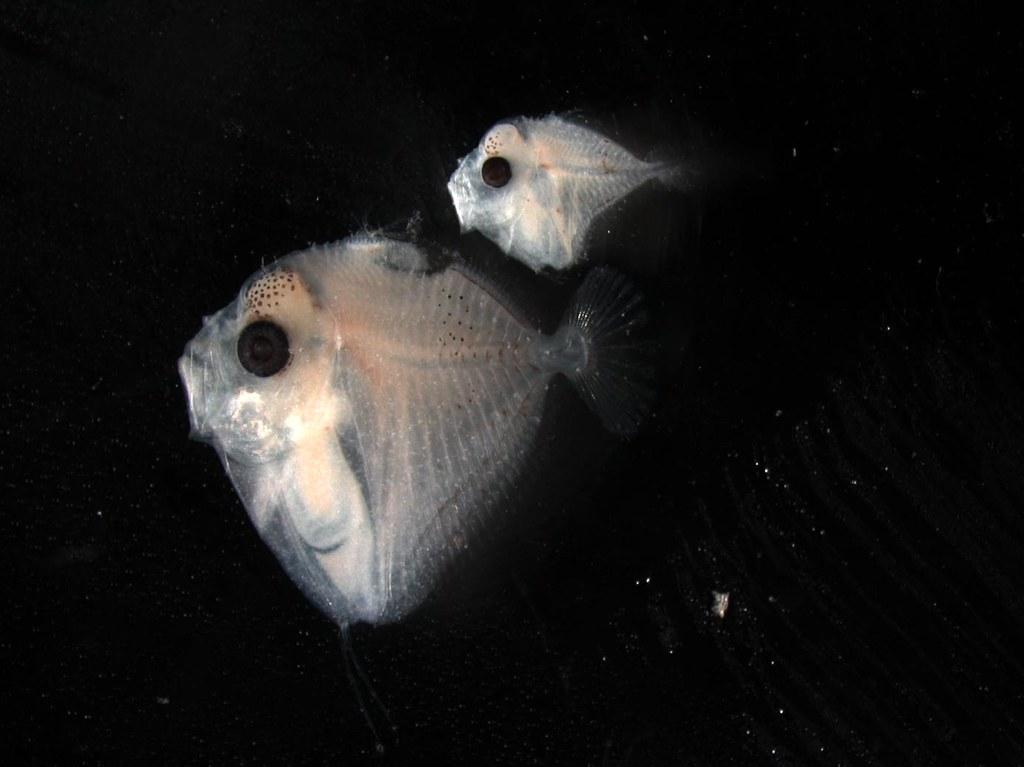 larval Mene maculata,Mene maculata
