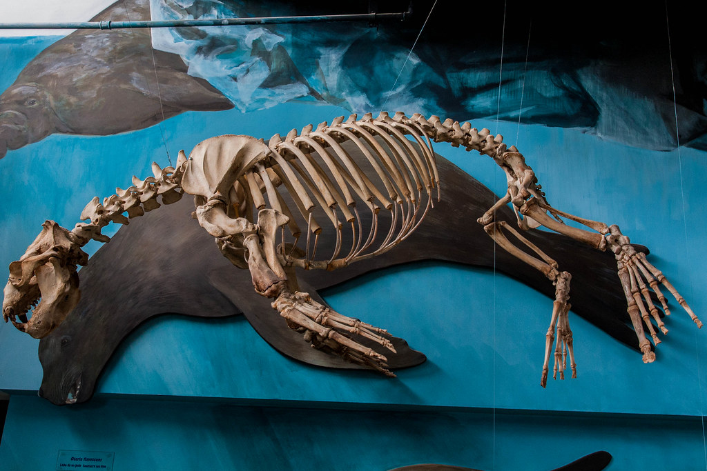 Sea lion skeleton | It's incredible how much the rear ...