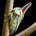 Platycostis vittata (Oak Treehopper)