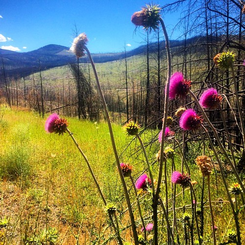 Thistles and burned landscape, Boulder Creek Rd, Ferry County | by red alder ranch