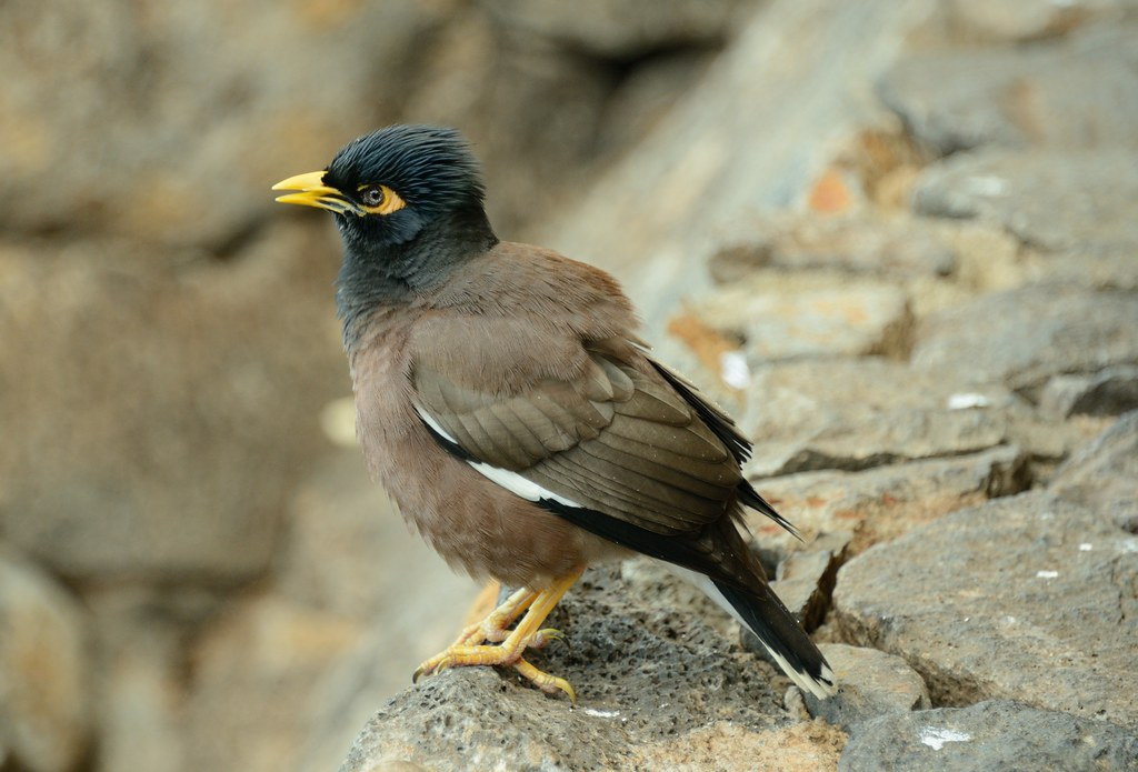 Myna Bird [Explored] | A shot of a mynah bird that stopped ... - photo#16