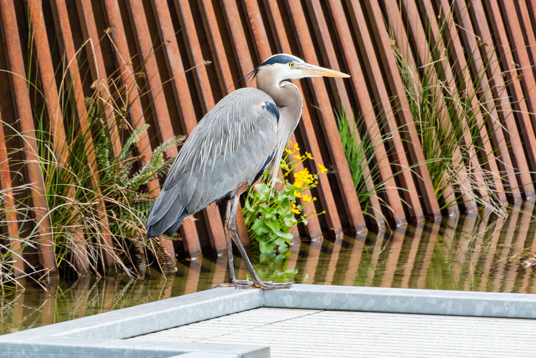Great Blue Heron (2/52)
