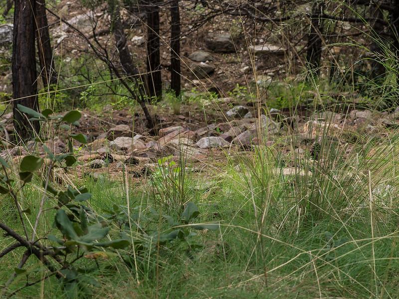 Malaxis soulei habitat