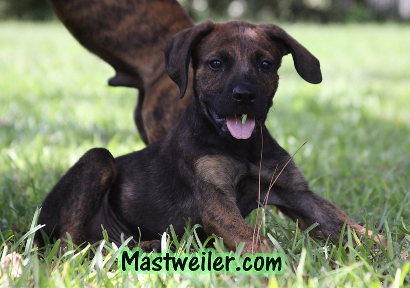 We have Brindle Pups Available