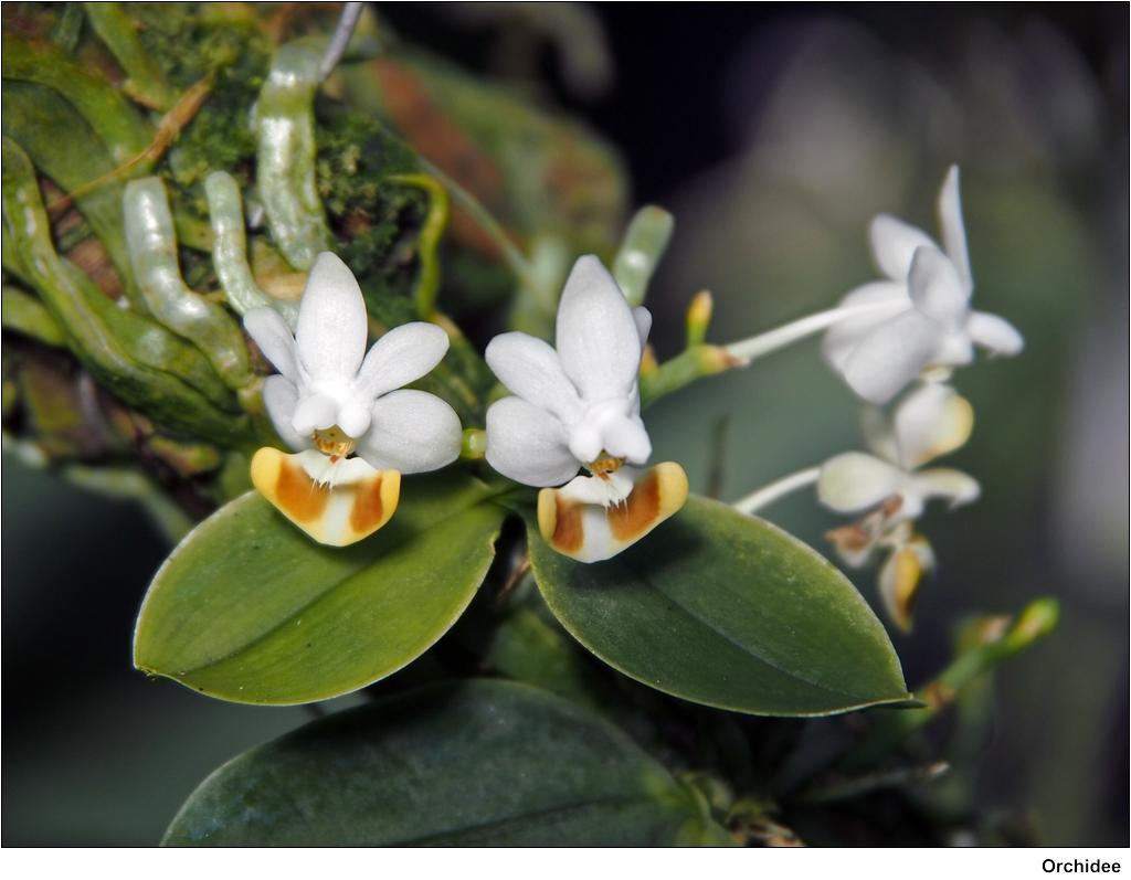 kleinbl tige orchidee phalaenopsis lobbii. Black Bedroom Furniture Sets. Home Design Ideas