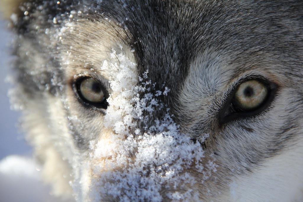 Grey Wolf: Eyes   Taken at Minnesota Wildlife Connection ...