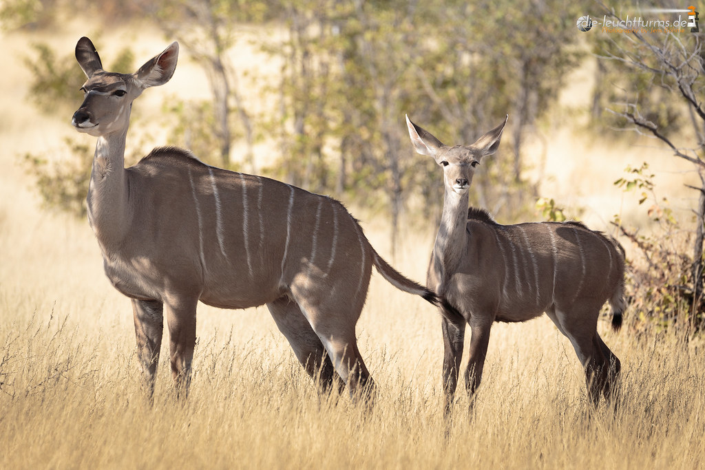 Greater kudu female with her cub
