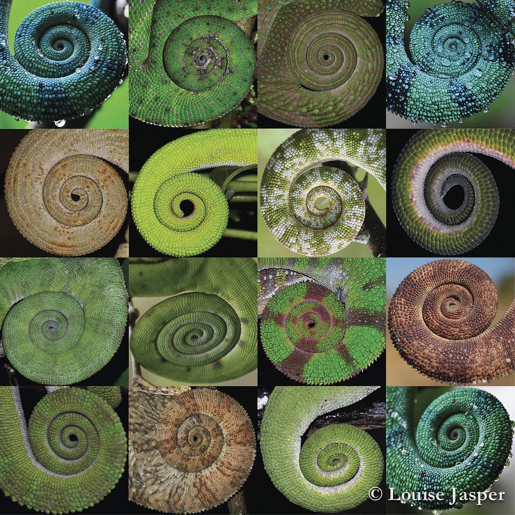 Chameleon Tail Collage