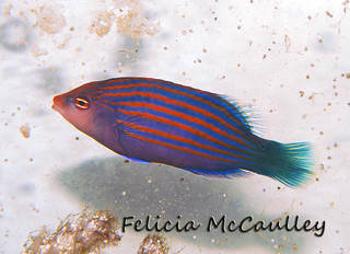 Giant Sixline Wrasse | by Felicia McCaulley