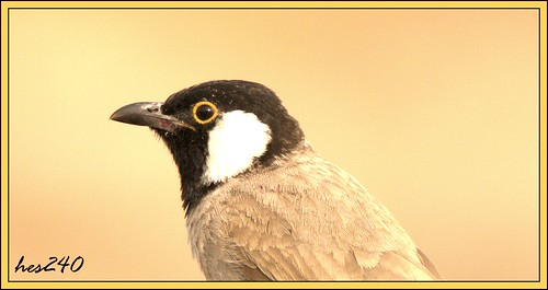 Bulbul Portrait | by hes240