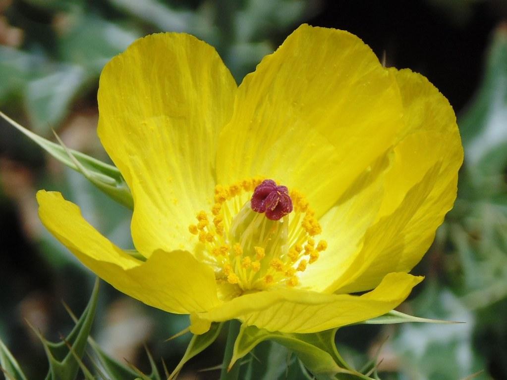 Prickly Poppy Argemone Mexicana Enpediawikipri Flickr