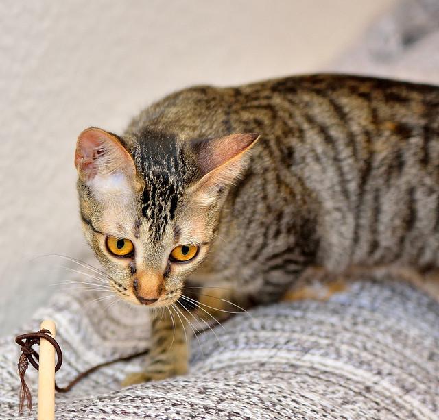 Muriel, gatita atigrada parda tímida y dulce esterilizada, de ojos cobrizos, nacida en Abril´16, en adopción. Valencia. 29503002452_2a86c7241a_z