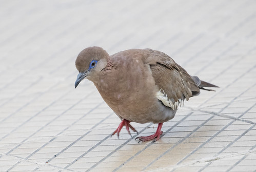 West Peruvian Dove