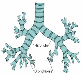 respiratory system diagram bronchi patrick ersig flickr : bronchi diagram - findchart.co