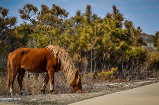 Horse @ Assateague Island | by m01229