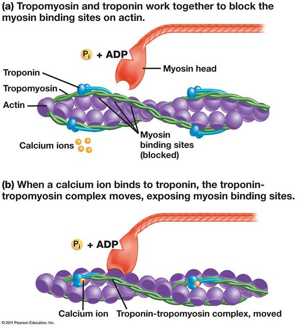 what is the relationship between actin troponin and tropomyosin