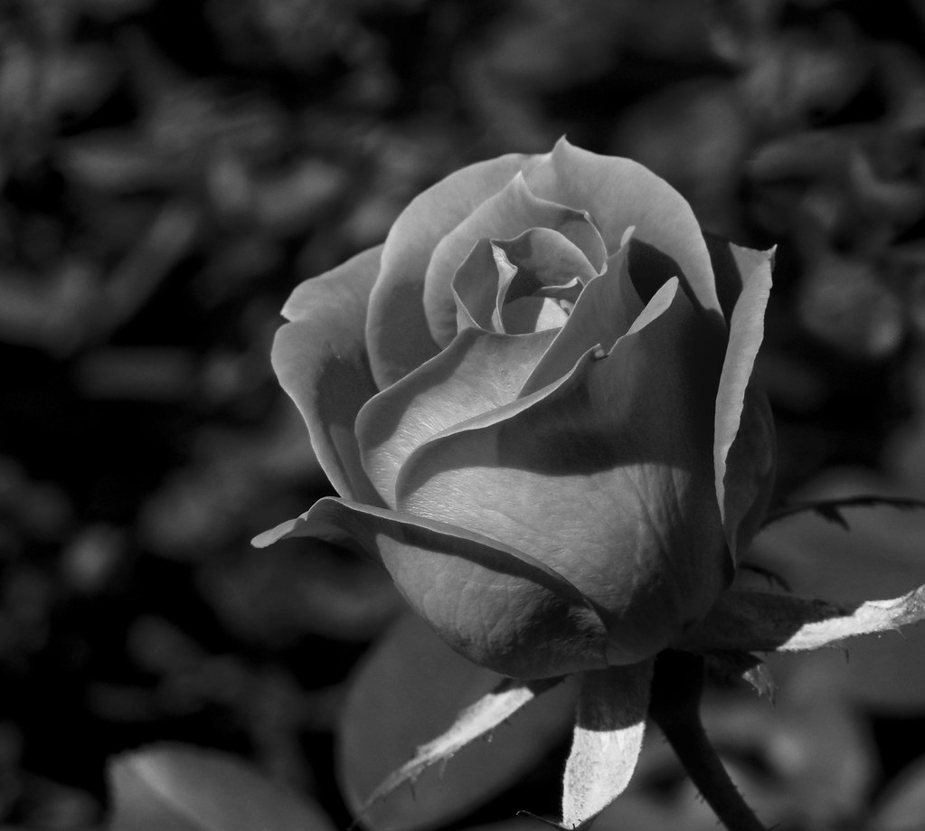 Black and white roses pictures